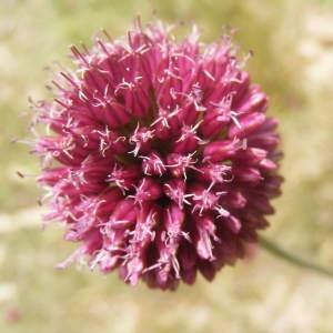 Allium sphaerocephalon L. [1753] (Ail à tête ronde)