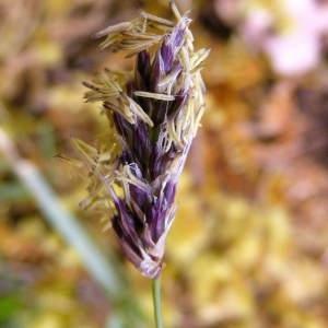 Sesleria caerulea (L.) Ard. (Seslérie blanchâtre)