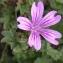 Alain Bigou - Malva sylvestris subsp. sylvestris