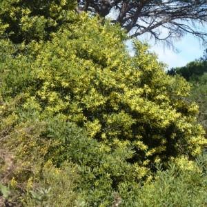 Photographie n°221756 du taxon Acacia longifolia