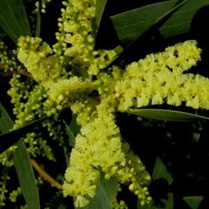 Photographie n°221758 du taxon Acacia longifolia