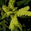 Ans Gorter - Acacia longifolia