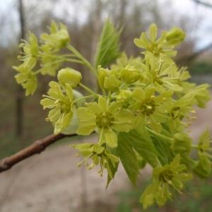 Acer platanoides L. (Érable plane)