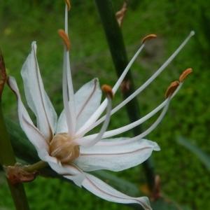 - Asphodelus ramosus