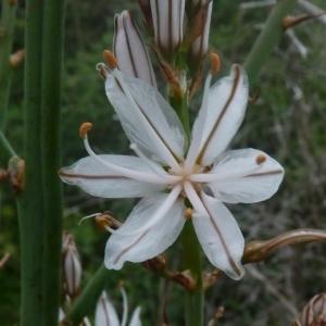 Asphodelus albus subsp. microcarpus (Viv.) Bonnier & Layens (Asphodèle à petits fruits)