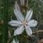 Ans Gorter - Asphodelus ramosus
