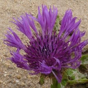 Photographie n°221801 du taxon Centaurea sphaerocephala L. [1753]