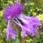 Ans Gorter - Centaurea sphaerocephala L. [1753]