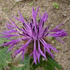 Photographie n°221805 du taxon Centaurea sphaerocephala L. [1753]