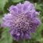 Jean-Claude Echardour - Scabiosa columbaria subsp. columbaria
