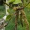 Jean-Claude Echardour - Betula pendula Roth [1788]