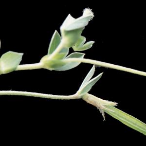Photographie n°222030 du taxon Lotus maritimus L. [1753]