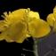 Liliane Roubaudi - Brassica napus L. [1753]