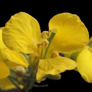 - Brassica napus L. [1753]
