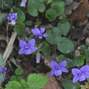Photographie n°222213 du taxon Viola riviniana Rchb.