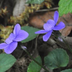 Photographie n°222215 du taxon Viola riviniana Rchb.