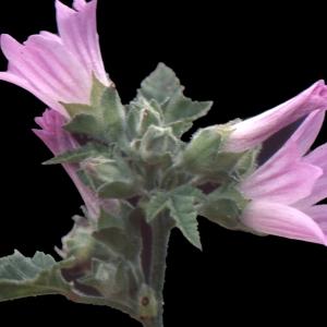 Malva multiflora (Cav.) Soldano, Banfi & Galasso (Lavatère de Crète)
