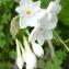 Ans Gorter - Narcissus papyraceus Ker Gawl. [1806]