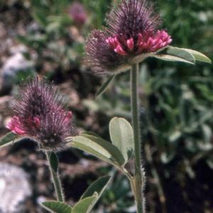 Photographie n°222332 du taxon Trifolium alpestre L. [1763]