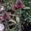 Liliane Roubaudi - Trifolium alpestre L. [1763]