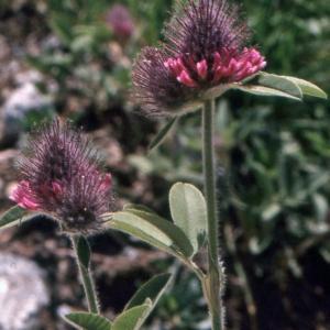 Photographie n°222334 du taxon Trifolium alpestre L. [1763]