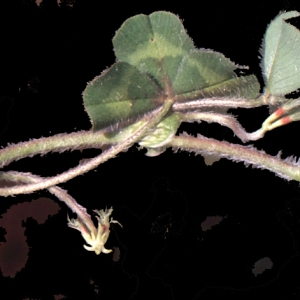 Photographie n°222346 du taxon Trifolium subterraneum L. [1753]