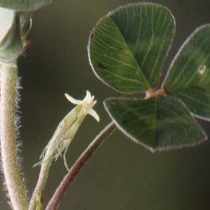 Photographie n°222348 du taxon Trifolium subterraneum L. [1753]