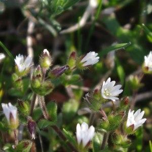 Photographie n°222379 du taxon Cerastium fontanum subsp. vulgare (Hartm.) Greuter & Burdet [1982]