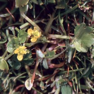 Photographie n°222381 du taxon Ranunculus muricatus L. [1753]
