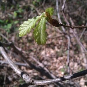 Photographie n°222405 du taxon Quercus pubescens Willd. [1805]