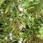 - Rosmarinus officinalis L. [1753]