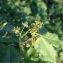 Pierre Bonnet - Acer monspessulanum L. [1753]