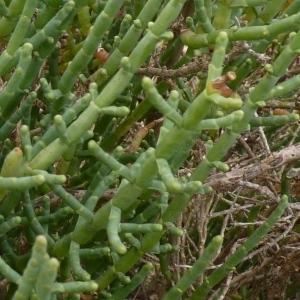 Photographie n°222634 du taxon Salicornia europaea L. [1753]