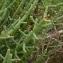 Ans Gorter - Salicornia europaea L. [1753]