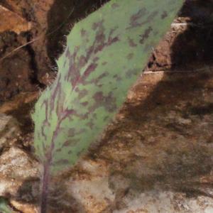 Photographie n°222671 du taxon Hieracium jaubertianum Timb.-Lagr. & Loret [1858]
