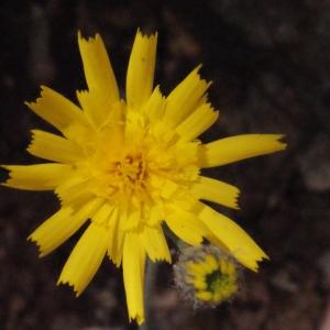 Photographie n°222673 du taxon Hieracium jaubertianum Timb.-Lagr. & Loret [1858]