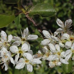 Photographie n°222680 du taxon Prunus mahaleb L.