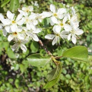Photographie n°222682 du taxon Prunus mahaleb L.