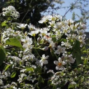 Photographie n°222683 du taxon Prunus mahaleb L.