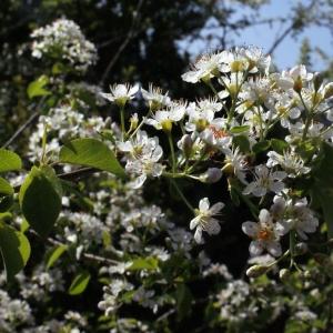 Photographie n°222684 du taxon Prunus mahaleb L.