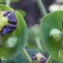 Liliane Roubaudi - Euphorbia characias L. [1753]