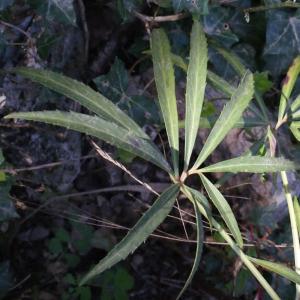 Photographie n°222746 du taxon Helleborus foetidus L. [1753]