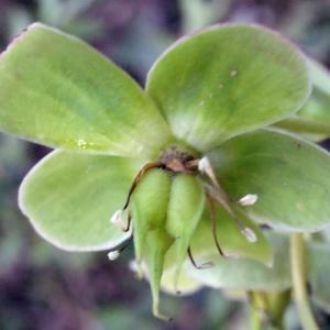 Photographie n°222751 du taxon Helleborus foetidus L. [1753]