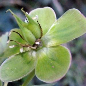Photographie n°222755 du taxon Helleborus foetidus L. [1753]