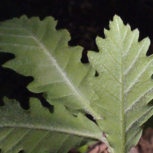 Photographie n°222774 du taxon Quercus pubescens Willd. [1805]