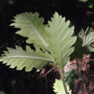 Photographie n°222775 du taxon Quercus pubescens Willd. [1805]