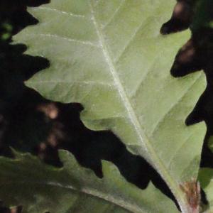 Photographie n°222776 du taxon Quercus pubescens Willd. [1805]