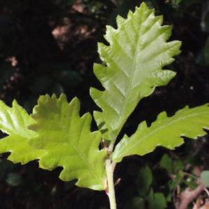 Photographie n°222777 du taxon Quercus pubescens Willd. [1805]