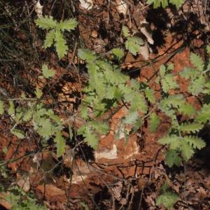 Photographie n°222778 du taxon Quercus pubescens Willd. [1805]