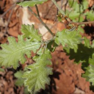 Photographie n°222780 du taxon Quercus pubescens Willd. [1805]